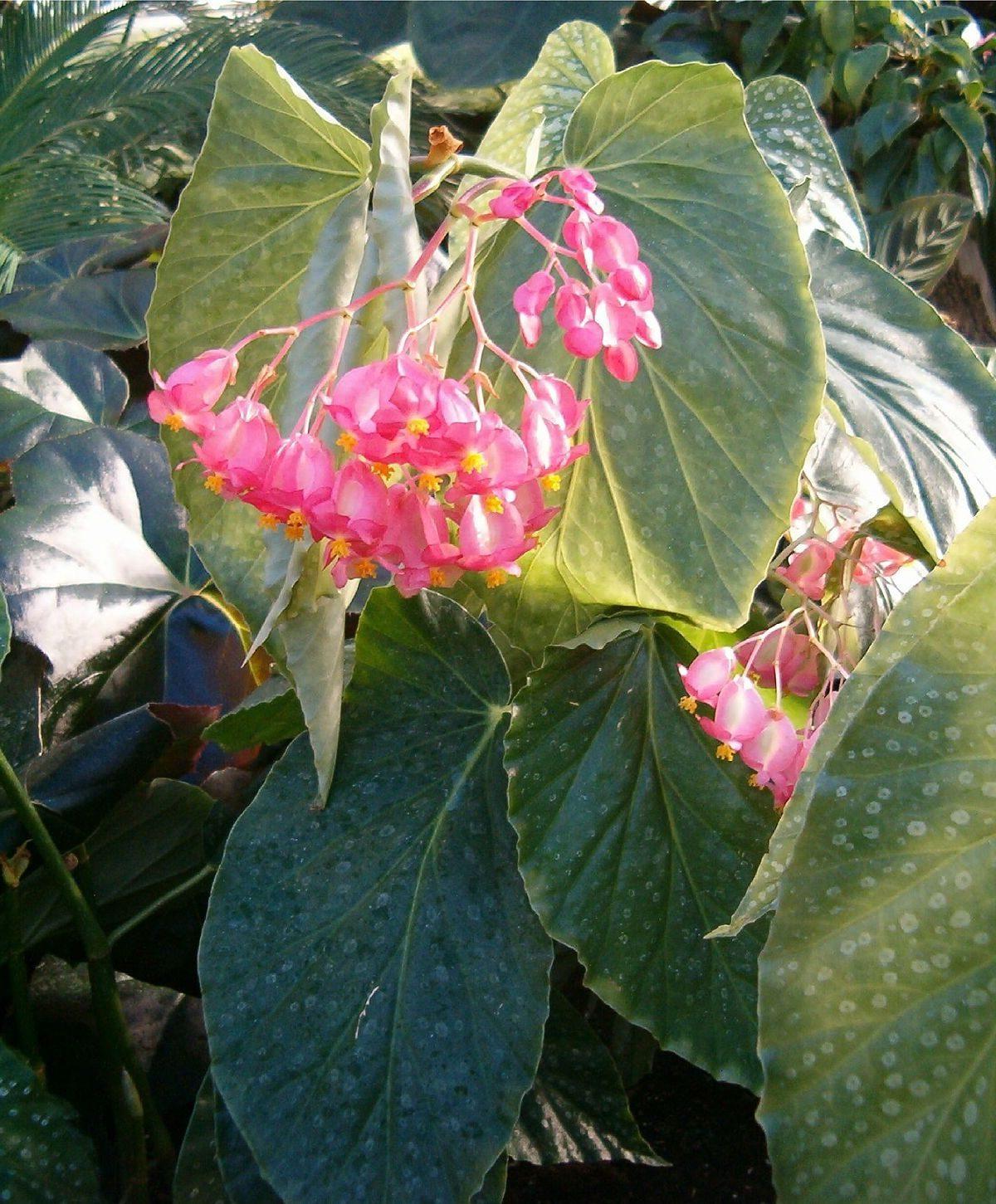 Melek Kanadı Begonya ev bitkisi tüleri hakkında