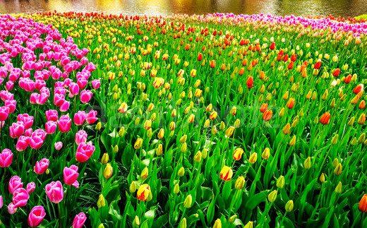 lale çiçeği nasıl sulanır?