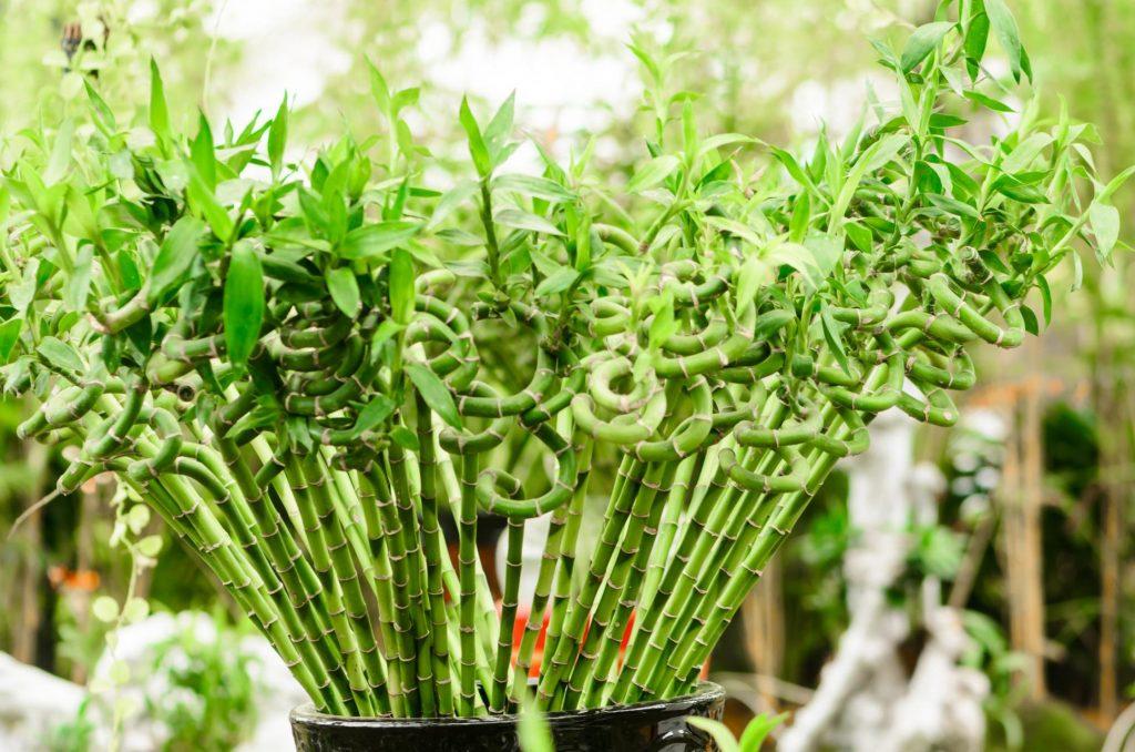Şanslı bambu bitkisi detayları