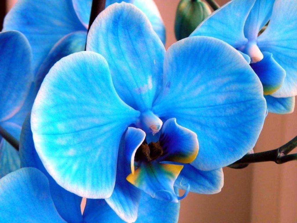 mavi orkideler ne zaman çiçek açar?
