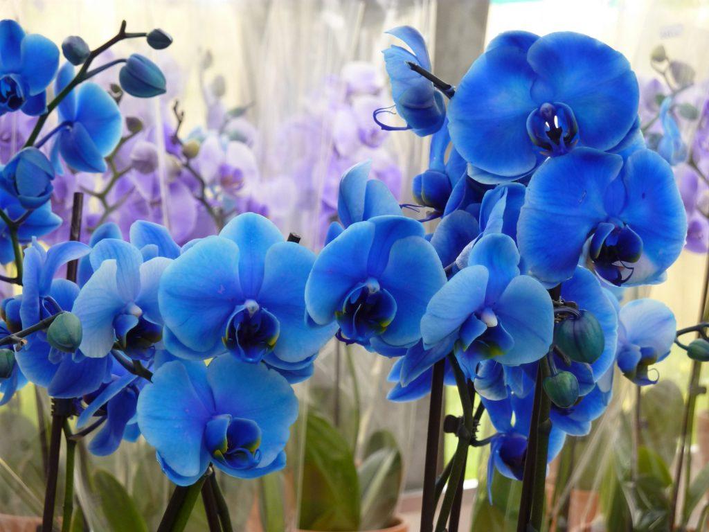 mavi orkide nasıl bakılır?