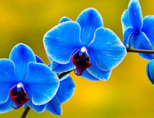 mavi orkide hangi ortamda bakılmalıdır?