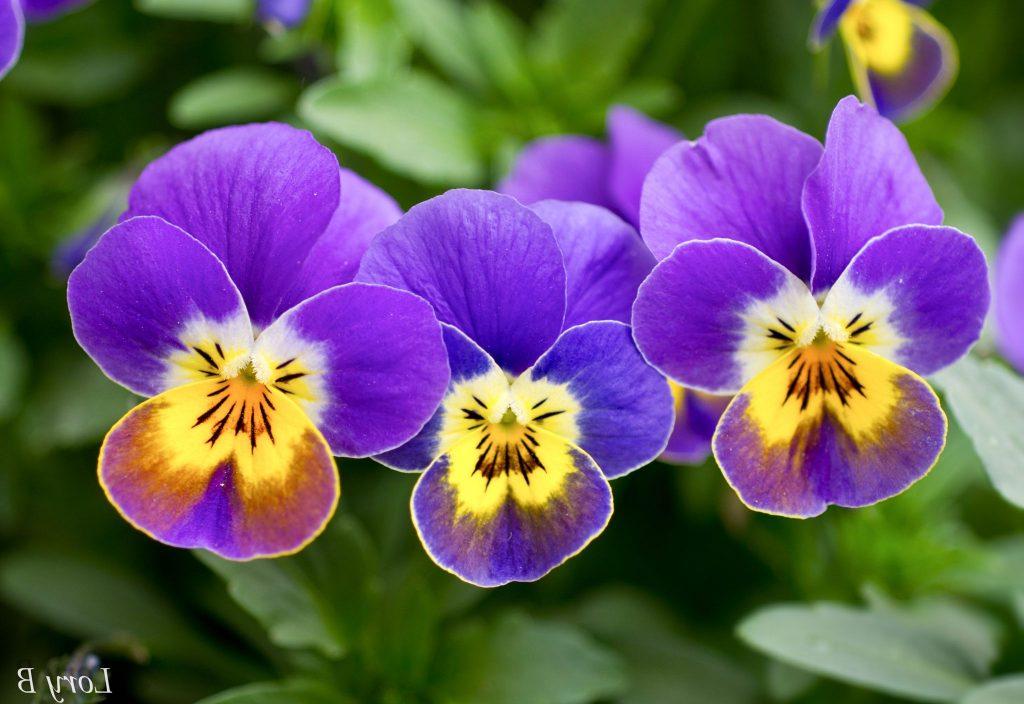 menekşe çiçekleri nasıl bakılır?