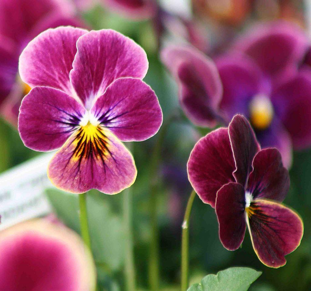 menekşe çiçeği nasıl yetiştirilir?