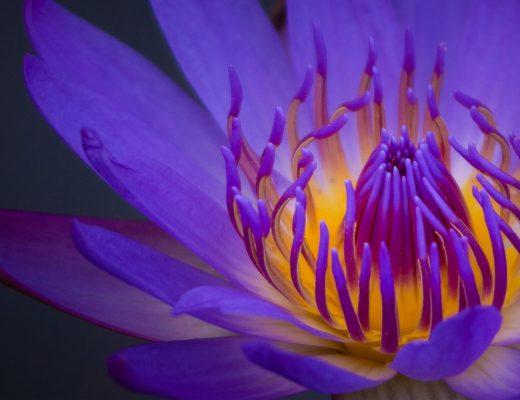 mor zambak çiçeği ne zaman sulanır?