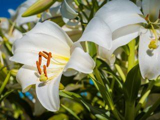 beyaz zambak çiçeği nasıl sulanır?